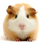 guinea-pig-5
